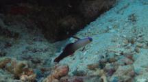 Purple Firefish, Nemateleotris Decora, Raises Dorsal Fin