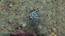 Sea Cucumber Crab, Lissocarcinus Orbicularis, Clings To White Teatfish, Holothuria (Microthele) Fuscogilva