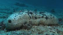 White Teatfish (Sea Cucumber), Holothuria (Microthele) Fuscogilva, On Sand