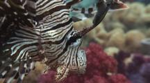 Red Lionfish (Common Lionfish), Pterois Volitans. Close Up Of Head