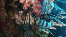Red Lionfish (Common Lionfish), Pterois Volitans, Upside Down By Soft Coral
