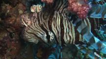 Red Lionfish (Common Lionfish), Pterois Volitans, Upside Down By Soft Coral. Close Up Of Head