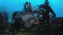 Scuba Diver Photographs Red Lionfish (Common Lionfish), Pterois Volitans