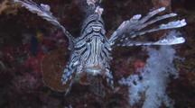 Red Lionfish (Common Lionfish), Pterois Volitans, Front View
