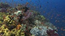 Coral Reef With Lyretail Anthias, Pseudanthias Squamipinnis