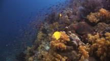 Colorful Coral Reef With Dendronephthya Soft Coral And Anthias