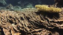 Pristene Reef Of Lettuce Coral, Turbinaria Sp., With Blackbar Devils And Blueblotch Butterflyfish