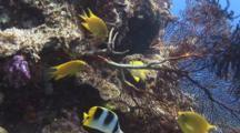 Golden Damsel, Amblyglyphidodon Aureus, Defends Eggs On Stem Of Sea Fan