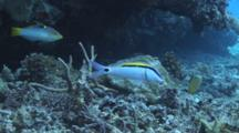 Dash-And-Dot Goatfish, Parupeneus Barberinus, Feeding On Sea Bed With Checkerboard Wrasse