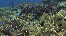 Coral Reef Of Cauliflower Coral, Pocillopora Sp., With Lyretail Anthias