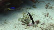 Black Ribbon Eel (Juvenile), Rhinomuraena Quaesita, Lunges At Damsel