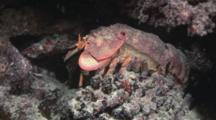 Blunt Slipper Lobster (Scaly Slipper Lobster), Scyllarides Squammosus, Carrying Clam, Retreats Into Coral Reef