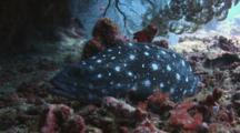 Whitespotted Grouper, Epinephelus Coeruleopunctatus, Resting On Sea Bed