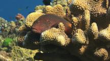 Freckled Hawkfish (Blackside Hawkfish), Paracirrhites Forsteri, Flees From Cauliflower Coral, Pocillopora Sp.