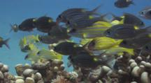 School Of Striped Large-Eye Bream, Gnathodentex Aureolineatus, And Bluestripe Snapper, Lutjanus Kasmira, Over Hard Coral Reef
