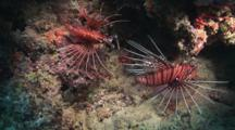 Pair Of Spotfin Lionfish, Pterois Antennata, At Night With Fins Spread