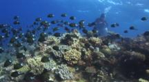 Spawning Shoal Of Stout Chromis, Chromis Chrysura, Over Coral Reef With Scuba Divers
