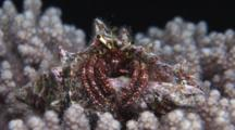 Hairy Red Hermit Crab, Dardanus Lagopodes, Sits On Cauliflower Coral At Night