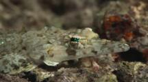 Longsnout Flathead, Thysanophrys Chiltonae, Camouflaged On Seabed