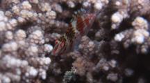 Dwarf Hawkfish, Cirrhitichthys Falco, Shelters In Cauliflower Coral, Pocillopora Damicornis
