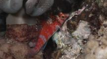 Dwarf Hawkfish, Cirrhitichthys Falco, Resting At Night Under Mushroom Leather Coral
