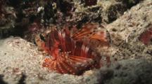 Zebra Lionfish, Dendrochirus Zebra, Resting On Sandy Reef At Night