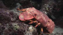 Blunt Slipper Lobster (Scaly Slipper Lobster), Scyllarides Squammosus, Crawls Over Seabed At Night