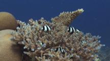 Humbug Dascyllus, Dascyllus Aruanus, Shelter In Hard Coral, Acropora Sp.
