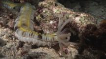 Lion's Paw Sea Cucumber, Euapta Godeffroyi, Feeding At Night
