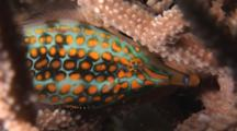 Harlequin Filefish, Oxymonacanthus Longirostris, Shelters In Staghorn Coral At Night