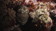 Sculptured Slipper Lobster, Parribacus Antarcticus, Crawls Backwards Into Reef