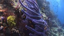 Purple Gorgonian Sea Fan