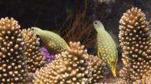 Pair Of Harlequin Filefish, Oxymonacanthus Longirostris, Feeding On Cauliflower Coral, Pocillopora Sp.
