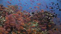 Colorful Anthias Over Coral Reef At Maytag In Fiji