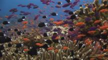 Lyretail Anthias, Pseudanthias Squamipinnis, And Reticulated Dascyllus, Dascyllus Reticulatus, School Over Coral Reef