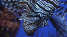 Red Lionfish (Common Lionfish), Pterois Volitans. Close-Up Of Head