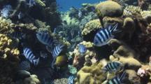 Scissortail Sergeants, Abudefduf Sexfasciatus, On Shallow Hard Coral Reef