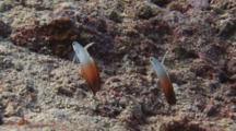 Pair Of Firefish (Fire Goby), Nemateleotris Magnifica