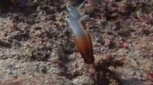 Firefish (Fire Goby), Nemateleotris Magnifica, Dives Into Burrow