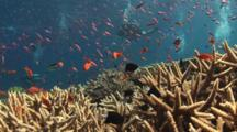 Shoal Of Anthias Over Hard Coral Reef With Staghorn Coral, Acropora Sp., And Scuba Divers