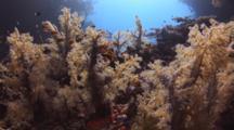 Lyretail Anthias, Pseudanthias Squamipinnis, Amongst Dendronephthya Soft Corals (Carnation Coral)