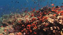 Pretty Coral Reef Teeming With Marine Life - Part 2, Including Lyretail Anthias And Bluntheaded Wrasse, Thalassoma Amblycephalum