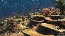 Pretty Coral Reef Teeming With Marine Life - Part 3, Including Damsels, Chromis And Lyretail Anthias
