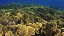 Yellow Scroll Coral (Cabbage Coral), Turbinaria Reniformis, At Nigali Passage In Fiji