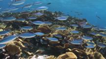 School Of Blue And Gold Fusiliers, Caesio Caerulaurea, Swim Past Reef Of Yellow Scroll Coral With Scissortail Sergeants