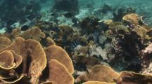 Scissortail Sergeants, Abudefduf Sexfasciatus, Amongst Yellow Scroll Coral, Turbinaria Reniformis