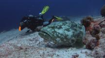 Underwater Photographer Shoots Malabar Grouper, Epinephelus Malabaricus