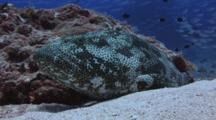 Malabar Grouper, Epinephelus Malabaricus, Rests At Cleaning Station