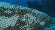 Malabar Grouper, Epinephelus Malabaricus. Close Up Of Head