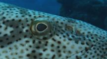 Malabar Grouper, Epinephelus Malabaricus. Close Up Of Eye And Nares